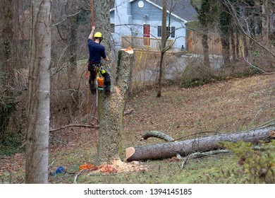 A roped in arborist climbs an old cherry tree and uses a chain saw to take it down on a winter's day