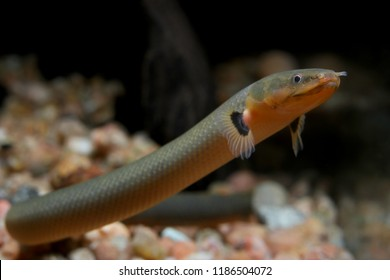 Ropefish or snakefish (Erpetoichthys calabaricus) is funny eel-like bichir that can survive in very oxygen-poor water
