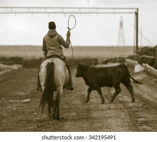 Roping Cattle at a Feedlot. Rural America.