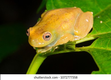Roque Treefrog (Hyloscirtus phyllognathus) on a leaf beside a rainforest stream in Morona Santiago province, Ecuador