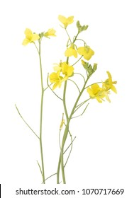Roquette flower isolated on background