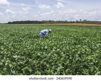 Roraima, Brazil, August 26, 2004: farmer checking soybean field in Brazil