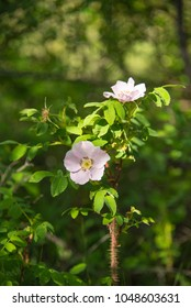 Rosa acicularis, also known as the prickly wild, the prickly , the bristly, the wild rose and the Arctic rose is the provincial flower for the province of Alberta Canada
