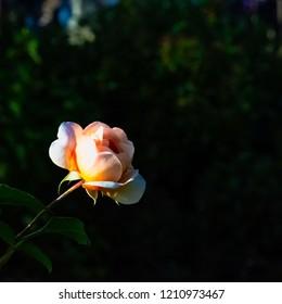 Rosa Anne Harkness (HARkaramel or Ann Harkness) - is a floribunda rose variety