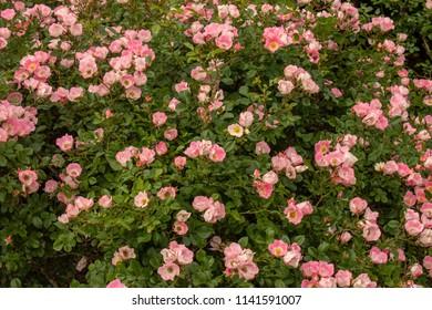 Rosa Arkansa garden Patch