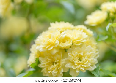 Rosa Banksiae Flower