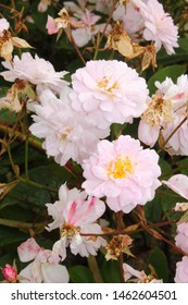 Rosa Canina or Dog Rose Hedging, West Yorkshire, UK