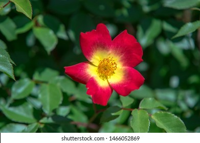 Rosa canina (dog rose) on the natural background