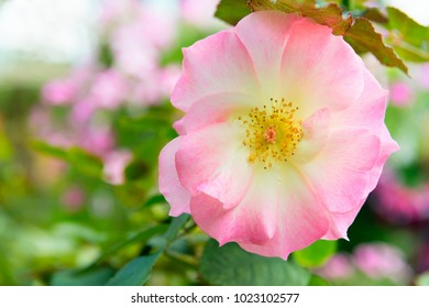 Rosa canina fresh pink flower in a green garden, commonly known as the dog rose