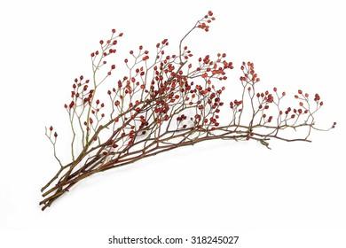 Rosa canina plant isolated on white background