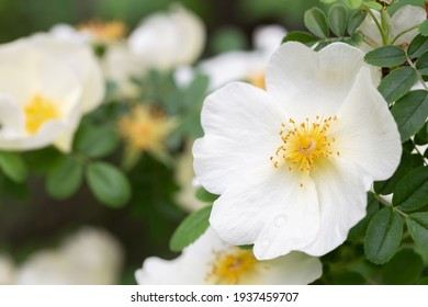 Rosa Cantabrigiensis is a wild rose and also know as a shrub rose.