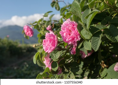 Rosa damascena, known as the Damask rose - pink, oil-bearing, flowering, deciduous shrub plant. Bulgaria, near Kazanlak, the Valley of Roses. Close up view. The Old mountain (Balkan) on the background