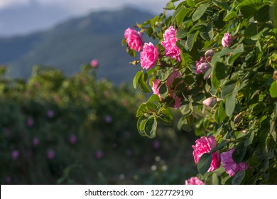 Rosa damascena, known as the Damask rose - pink, oil-bearing, flowering, deciduous shrub plant. Bulgaria, the Valley of Roses. Close up view. The Old mountain Balkan and a row of roses on background.