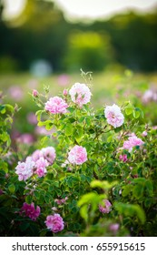 Rosa Damascena from rose valley