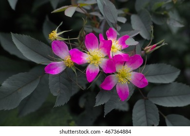 (Rosa glauca) Pink flowers with a white centre of Red Leafed Rose