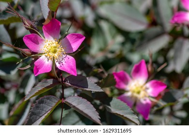 Rosa glauca rubrifolia red-leaved rose in bloom, beautiful ornamental redleaf flowering deciduous shrub, spring pink yellow white flowers on branches with dark foliage