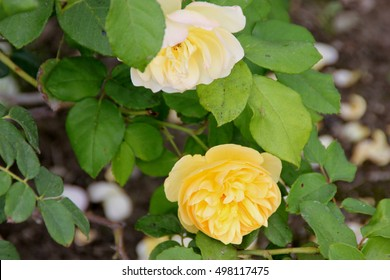 Graham thomas roses images stock photos vectors shutterstock rosa graham thomas english shrub rose with arching stems and fragrant double rich thecheapjerseys Images