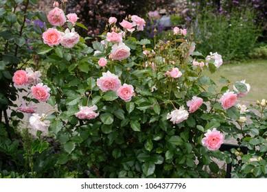 Rosa Harzola L'tAiman Rose