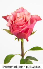 Rosa large flowering Fame Summerhouse