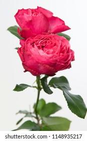 Rosa large flowering Frozen Summerhouse
