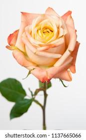 Rosa large flowering Yashika