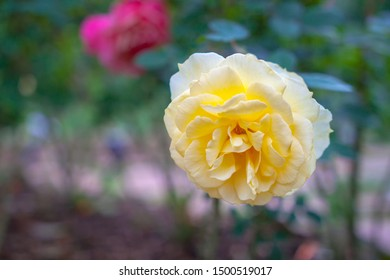 rosa multiflora, Rose petals From the Phu Phing Ratchaniwet Palace gardens Chiang Mai Province, Thailand