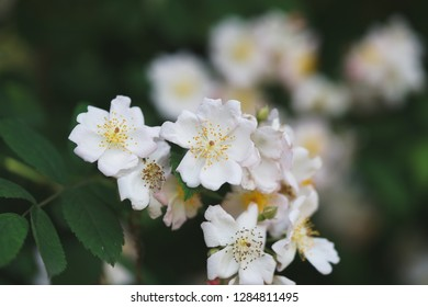 Rosa multiflora (syn. Rosa polyantha) is a species of rose known commonly as multiflora rose, baby rose, Japanese rose, many-flowered rose,seven-sisters
