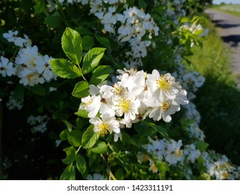 Rosa multiflorais a species of rose known commonly as multiflora rose, Rosaceae family
