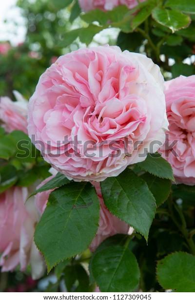 Rosa Pierre De Ronsard Stock Photo Edit Now 1127309045