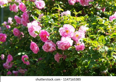 Rosa spinosissima or  burnet rose pink flowers on green shrub