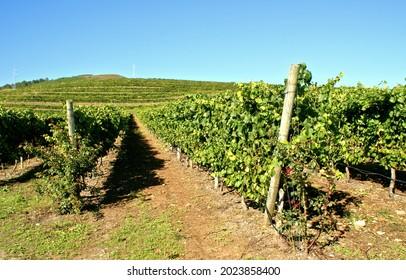 Rosal Vineyards in Galicia, Spain