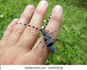 Rosalia longicorn and human hand,(Rosalia alpina),Alpine longhorn beetle
