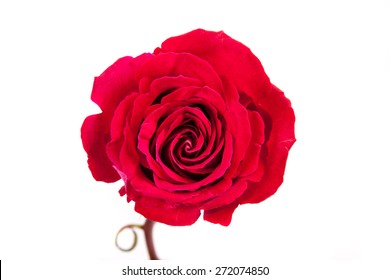 rose/ rose/ rose