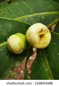 Rose apple flower - Young rose apple flower before it blooming