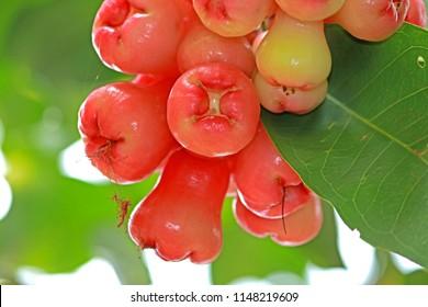 Rose apple fruit