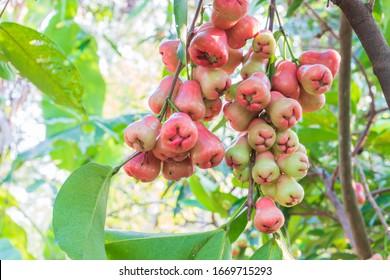 Rose apples on tree in garden