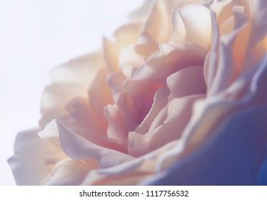Rose au redu très frais et féminin