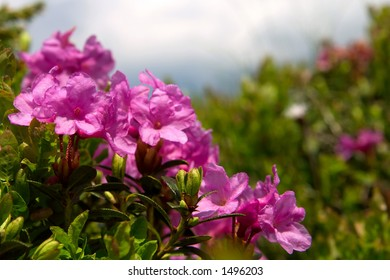 Rose bay (Rhododendron) border landscape