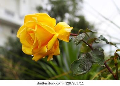 Rose. Beautiful rose