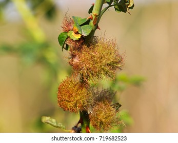 The rose bedeguar gall, Robin's pincushion gall, or moss gall on dog rose, Rosa canina, caused by the gall wasp, Diplolepis rosae.