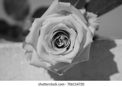 Rose. Black and white flower. Single plant. Macro.