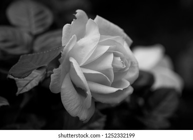Rose black and white flowers