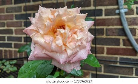 Rose in bloom after a light rain shower in Detroit