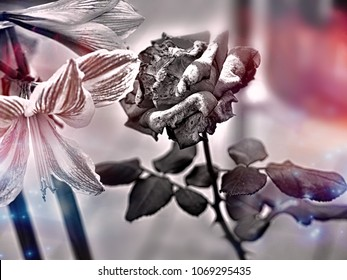 rose in bloom in black and white, the background is delicately colored in soft dark blue, blurred, soft and gentle bookeh, romantic and stylish