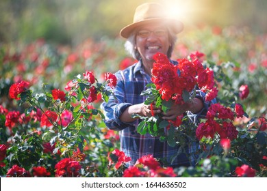 Rose blooming on the farm, and Asian farmers in his rose garden, selective focus