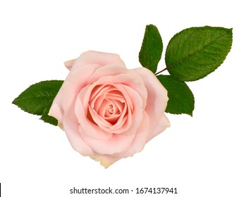 Rose blossom with leaves, isolated