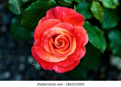 Rose Bonfire: The flowers transition and are shade from Bright red to orange, to purple as they fade - a real Bonfire of colour.