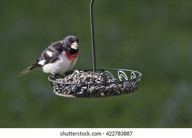A rose breasted grosbeak perches on a backyard feeder, selecting the choicest seeds from a plethora of black sunflower seeds.