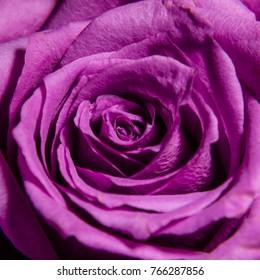 Rose bud close-up. Background.