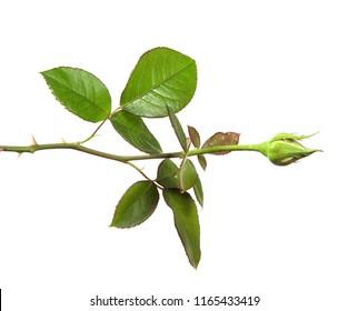 rose bud with foliage isolate on white background